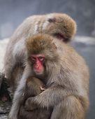 Family Of Snow Monkeys In Jigokudani Snow Monkey Park. Mother Embracing Child poster