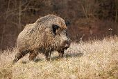 Majestic Wild Boar Walking On A Meadow In Sunny Autumnal Morning poster