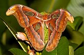 Night Butterfly Atlas Moth Or Attacus Atlas The Biggest Butterfly, Thailand. poster