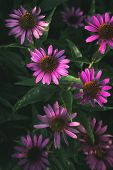 Magenta Flowers In Bloom And Green Leafage In Sunlight, On A Summer Day. Pink Floral Backdrop. Magen poster