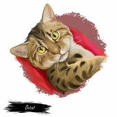 Ocicat Domestic Cat Resemble To Wild Cat. Siamese And Abyssinian, American Shorthair. Digital Art Il poster