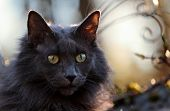 A Blue Norwegian Forest Cat Female In The Evening Light poster
