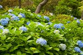 Blooming Hortensia Plants