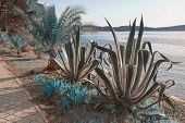 Surreal Blue Landscape. Agave And Fan Palm Trees On The Coast Of The Bay. Montenegro, Kotor Bay, Tiv poster