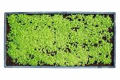 Top View Young Of Tobacco Tree In Black Plastic.seedling Tray poster