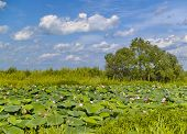 picture of hydrophytes  - The Lake flowering pink Lotus Far East Russia - JPG