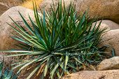 Agave Sisalana Plant In Closeup, Known As Sisal In Mexico, Popular Tropical Plant Specie poster