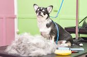 Contented Dog In A Beauty Salon. Grooming Dogs In A Pet Beauty Salon. Dog Express Molt Procedure. Co poster