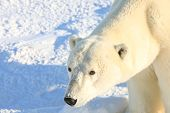Polar bears in Churchill, Manitoba Canada attract thousands of visitors every year.  These wild anim poster