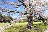 Japanese hanami festival - people enjoy sakura blossom. Cherry blossoming season in Japan. Blooming  poster