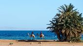 Two Egyptian Teenagers Riding Camels Ride Along The Coast Of The Red Sea poster