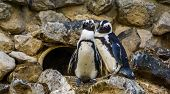Cute African Penguin Couple Together, Endangered Animal Specie From The Coast Of Africa poster