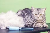 Contented Cat In A Beauty Salon. Grooming Cats In A Pet Beauty Salon. Cat Express Molt Procedure. Co poster