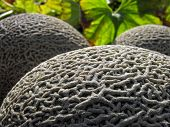 stock photo of muskmelon  - conceptual image of muskmelon in the vegetable garden