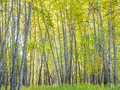 A Grove Of Birch Trees In The Autumn poster