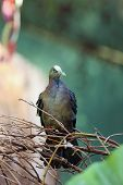 New Guinea Bronzewing, Henicophaps Albifrons, Sitting In Green Forest. Portrait Of A Pigeon In The R poster