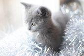 A British Kitten Is Lying On The Windowsill. Cute Kitten. Magazine Cover. Pet. Grey Kitten. . Kitten poster