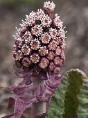 picture of butterbur  - Bog rhubarb just awakening from winter sleep - JPG