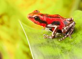 red strawberry poison dart frog tropical amphibian from jungle of Panama. These rain forest animals