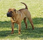 foto of shar pei  - A beautiful young red fawn Chinese Shar Pei dog standing on the lawn distinctive for its deep wrinkles and considerd to be a very rare breed - JPG