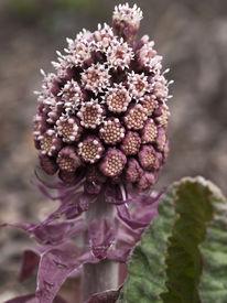 pic of butterbur  - Bog rhubarb just awakening from winter sleep - JPG