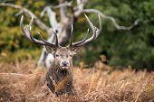 pic of cervus elaphus  - Red deer stag during rutting season in Autumn - JPG