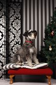 It's a Schnauzer Christmas