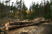 Forest devastation. Firewood.