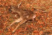 foto of black tail deer  - The carcass of a Black - JPG