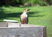 stock photo of pecker  - A red bellied woodpecker bird poses while sitting at a rustic wooden bird feeder against a green grassy back yard - JPG