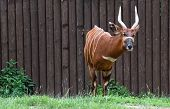 stock photo of bongo  - Bongo antelope by the wood wall  - JPG