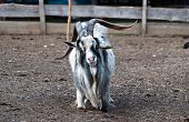 stock photo of billy goat  - Image of shaggy haired goat - JPG