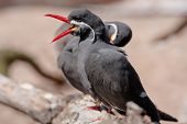 pic of tern  - The Inca Tern is identified by its red beak and feet and white mustache.