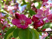 foto of boise  - Bright pink crab apple blossoms welcome spring. ** Note: Visible grain at 100%, best at smaller sizes - JPG