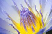 foto of lily  - Purple water Lily is beautiful and more colourful.