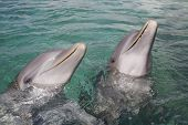 picture of bottlenose dolphin  - Two bottlenose dolphins playing in the aqua Caribbean waters in Honduras Roatan Island - JPG