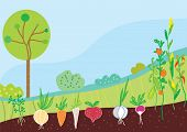 foto of root-crops  - Garden in spring with vegetables background vector - JPG