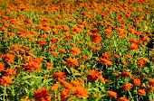 stock photo of zinnias  - beautiful Zinnia flower  - JPG