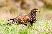 stock photo of buzzard  - Standing Buzzard o the green grass watching - JPG