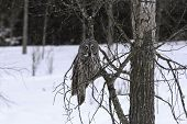 stock photo of snow owl  - A Great Grey Owl sits in a try caught in a snow storm  - JPG