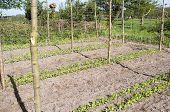 picture of non-toxic  - Beans Stakes and mesh for marrowfats in the vegetable garden Groentenhof in Leidschendam Netherlands - JPG