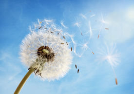picture of dandelion seed  - Dandelion seeds in the morning sunlight blowing away in the wind across a clear blue sky - JPG