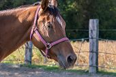 pic of bay horse  - Closeup portrait of a beautiful bay horse - JPG