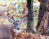 foto of buck  - Whitetail Deer Buck standing in a woods - JPG