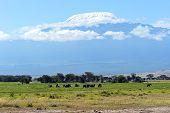 image of kilimanjaro  - Elephant with Mount Kilimanjaro in the background - JPG