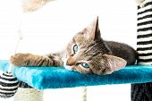 stock photo of blue tabby  - Grey tabby kitten with blue eyes lying on blue plush soft surface - JPG