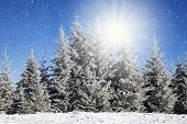 stock photo of fir  - Christmas background with snowy fir trees  - JPG