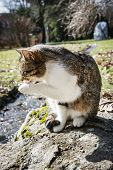 stock photo of licking  - Domestic cat licking paw in outdoor - JPG