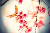 foto of sakura  - Beautiful pink cherry blossom (Sakura) flower at full bloom in vintage style ** Note: Soft Focus at 100%, best at smaller sizes - JPG