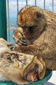 picture of ape  - Two Barbary Apes  - JPG